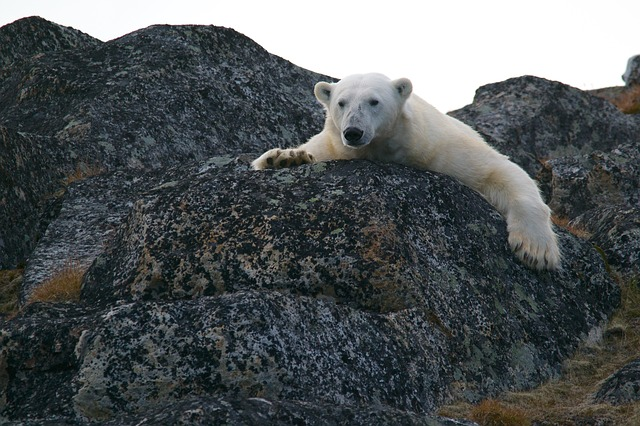 polar-bear-828995_640