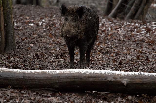 boar-657911_640