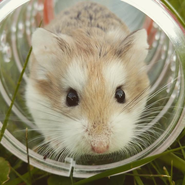 hamster-1149177_960_720