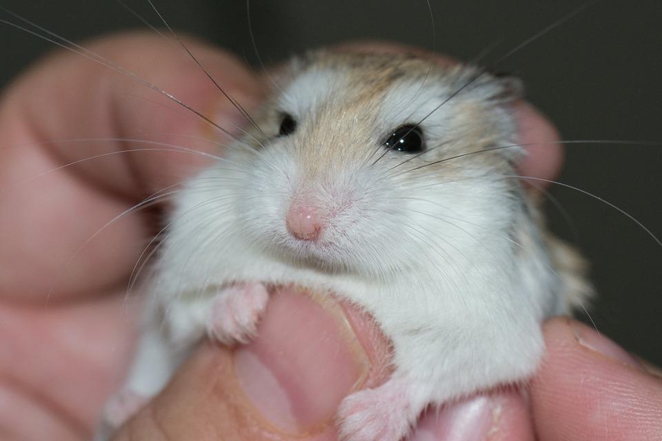hamster-577257_960_720
