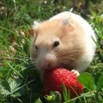 hamster-727293_960_720